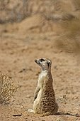 Meerkat watching the sky Kgalagadi NP South Africa