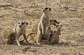 Young Meerkats playing Kgalagadi NP South Africa