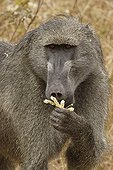 Portrait of a male Chacma baboon Kruger NP South Africa
