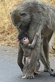 Female Chacma baboon with its young Kruger NP South Africa