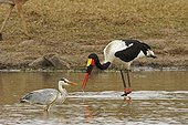 Grey heron and Saddle-billed stork in water Kruger NP