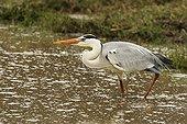 Grey heron walking in water Kruger NP South Africa