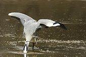Grey heron fishing a prey Kruger NP South Africa
