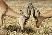 Male Impalas face to face Kruger NP South Africa