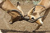 Male Impalas fighting Kruger NP South Africa