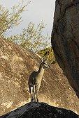 Male Klipspringer on a rock Kruger NP South Africa