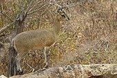 Female Klipspringer on a rock Kruger NP South Africa