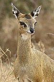 Portrait of a female Klipspringer Kruger NP South Africa