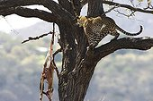 Leopard and its prey hanging from a tree Kruger NP