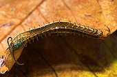 Scolopendra on a dead leaf Sulawesi