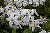 Orange blossom 'Walbertone Moonshine' flowers Spring France