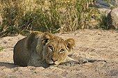 Lion resting Kruger NP South Africa