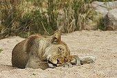 Lion sleeping Kruger NP South Africa