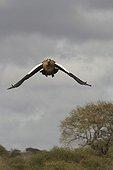 Egyptian goose flying Kruger NP South Africa