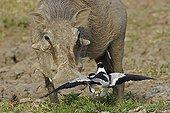 Blacksmith lapwing defending its territory facing a Warthog