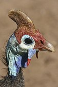 Portrait of a Helmeted guineafowl Kruger NP South Africa
