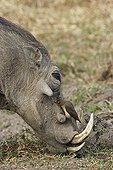 Red-billed oxpecker on Warthog Kruger NP South Africa