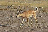 Male Impala black-faced rutting Etosha NP Namibia