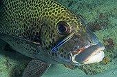 Poisson dans un récif corallien aux Maldives ; Site de plongée Maya Thila