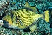 Titan triggerfish  in Maldives