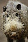 Portrait of a Bearded pig Borneo Malaysia