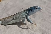 Little striped whiptail New Mexico USA