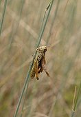 Italian locust on a stem Natural Park of Queyras France