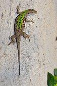 Italian Wall Lizard Corsican France