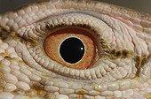 Eye of a Desert monitor Chinguetti Mauritania