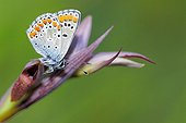 Brown Argus Closed wings Corsican France
