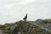 Northern Wheatear perched on a rock Shetland islands