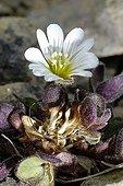 Shetland Mouse-ear flower Keen of Hamar  Shetland islands