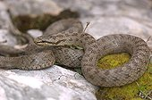 Smooth Snake on a rock and moss