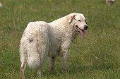 Pyrenean mountain dog in Hauts Plateaux du Vercors reserve