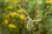 Praying mantis flying France