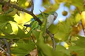 Monk parakeets landed on a branch in Catalonia