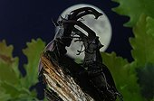Fighting between two Stag beetle in the moonlight