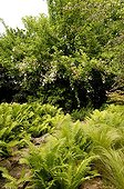 Feather grass and Ostrich fern and rose-tree 'Jean Girin' ; Marguerite Garden