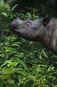 Portrait of Sumatran rhinoceros Sumatra Indonesia
