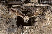 Barn Owl in flight with prey  Lorraine France