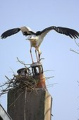 Stork trying to build a nest on a chimney France