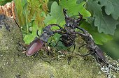 Fighting betwe male Stag beetles France