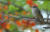 Spotted flycatcher on a branch Tanzania