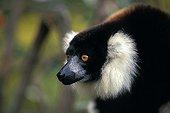 Portrait of a Ruffed lemur in Madagascar