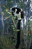 Ruffed lemur on a branch in Madagascar