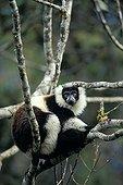 Ruffed lemur on a tree in Madagascar