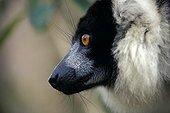 Portrait of an adult Ruffed lemur in Madagascar