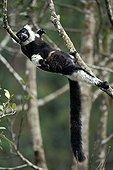 Ruffed lemur lying on a branch in Madagascar