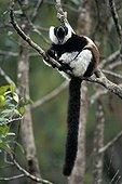 Ruffed lemur yawning on a branch in Madagascar