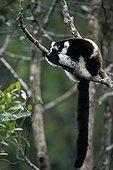 Ruffed lemur resting on a branch in Madagascar